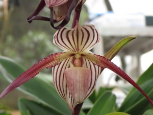 Paph. Isabel Booth (roth x stonei) x phillipinense